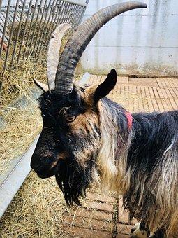 Goat, Farm, Animal, Agriculture, Cute, Mammal, Nature