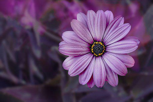 Flower, Photomontage, Nature, Violet, Marguerite