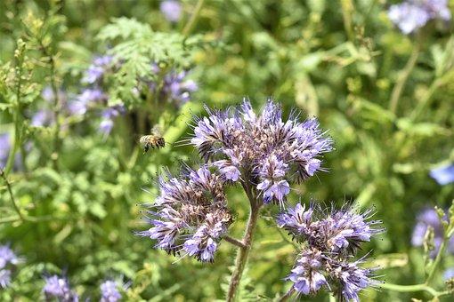 Tufted Flower, Phacelia, Bees
