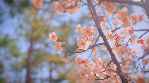 Cherry Blossom, Cherryblossom, Sakura, Spring, Pink