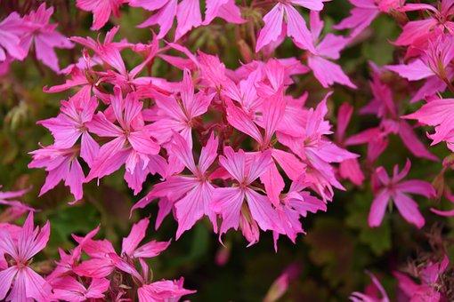 Flowers, Pink Flowers, Flower Of Geranium, Plants