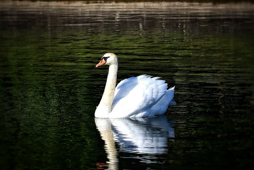 Swan, Bird, Pond, Water Bird, Nature, White