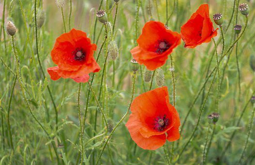Poppy, Green, Red, Red Poppy, Nature