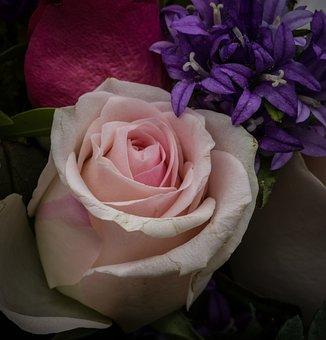 Rose Bloom, Salmon, Rose, Close Up