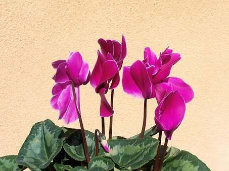 Cyclamen, Pink, Flower, Potted, Variegated Leaves