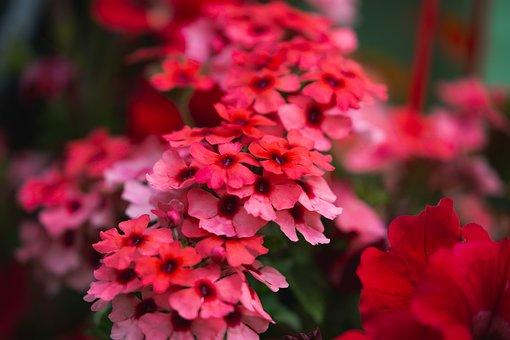 Red Verbena, Verbenaceae, Red Garden Flower