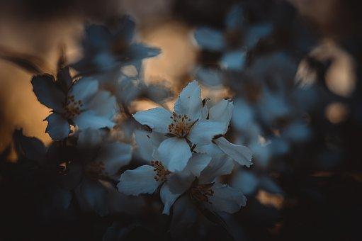 Jasmine, Bush, Summer, Spring, White, Flowers, Nature