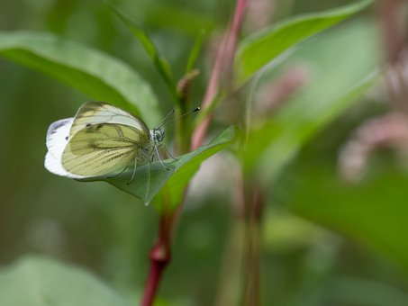 Butterfly, Insect, Nature, White, Wing, Animal World