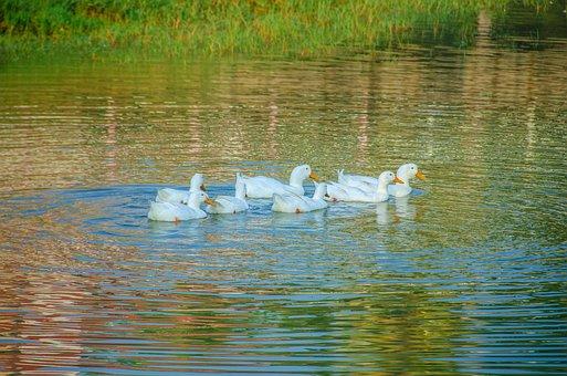 Ducklings, Ducks, Water, Wildlife, White
