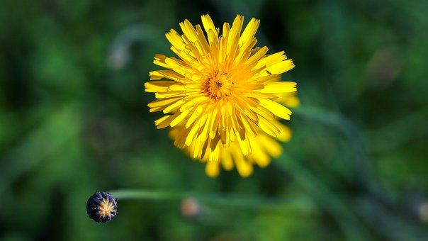 Wild Flower, Yellow Flower