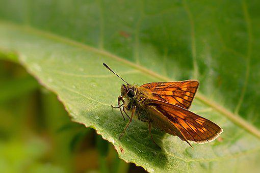 Butterfly, Skipper, Nature, Close Up, Summer, Wing