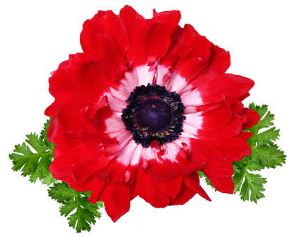 Flower, Red, Anemone, Bloom, Cut Out, Isolated