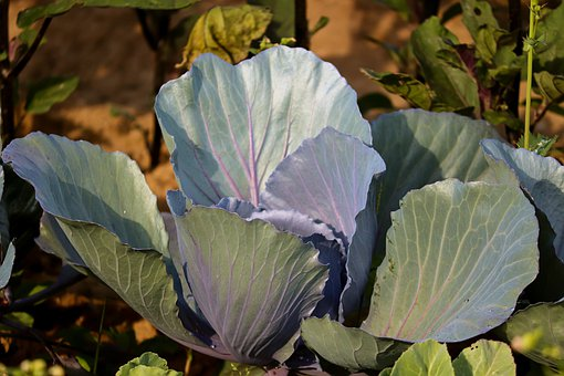 Cabbage, Red Cabbage, Blue Cabbage