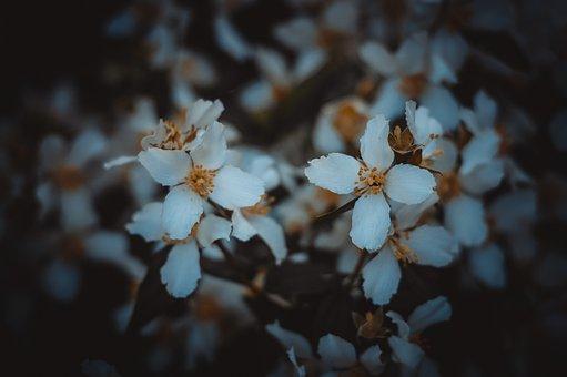 Jasmine, White, Flower, Mock Orange