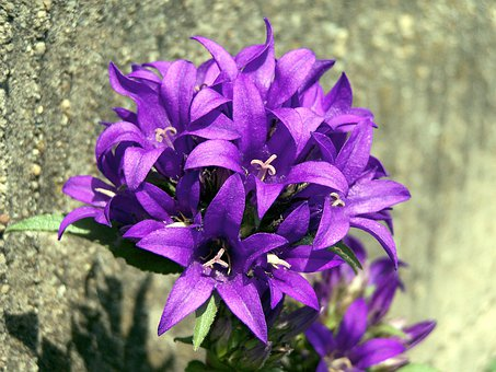 Knots, Bell Flower, Campanula Glomerata, Purple, Flower