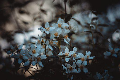 Jasmine, Flowers, Bush, White