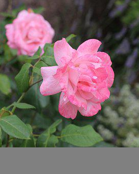 Nature, Flowers, Bloom, Roses, Pink Rose