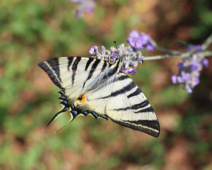Nature, Lavender, Insect, Scarce Swallowtail
