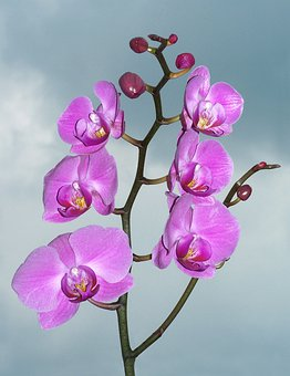 Orchid, Orchidaceae, Exotic, Flower, Pink, Tropical
