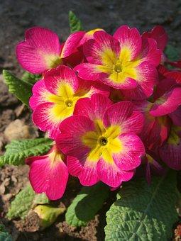 Primrose, Flower, Primula, Pink, Herb