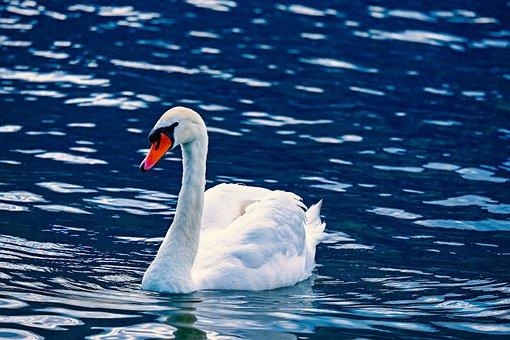 Swan, Animal, Water Bird, White, Pride, Schwimmvogel