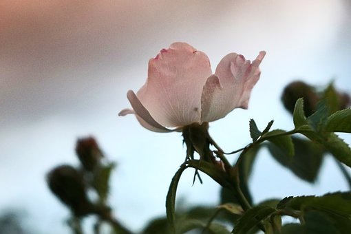 Rosebud, Rose Bud, Pale Pink Roses, Single Rose Bud