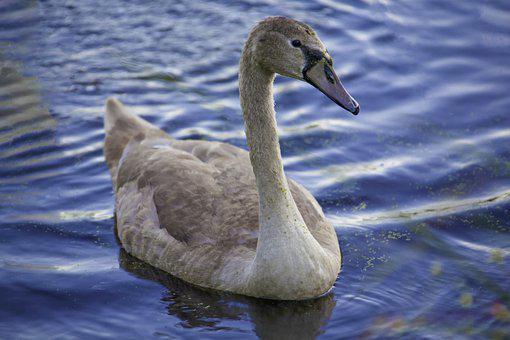Swan, Water, Wildlife, Nature, Bird