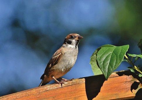 Sparrow, Sperling, Bird, Birdie, Animal