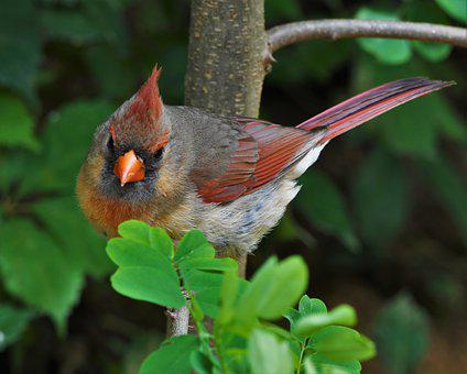 Bird, Redbird, Cardinal, Songbird, Wildlife, Northern