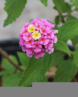 Pink Flowers, Tiny Flowers, Floral, Nature