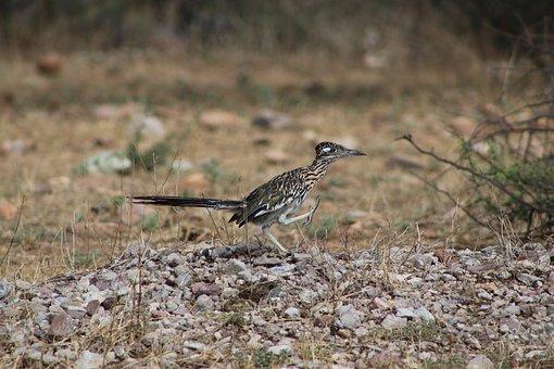 Roadrunner, Bird, Nature, Wildlife