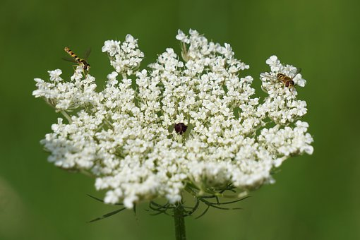 Wild Carrot, Blossom, Bloom, Umbelliferae, Close Up
