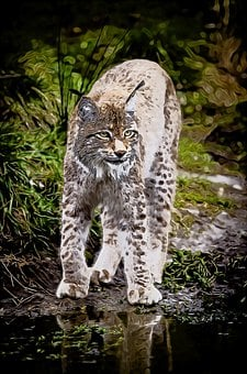 Bobcat, Lynx, Wildcat, Nature, Predator, Outdoors