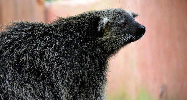 Bearcat, Conservation, Palawan