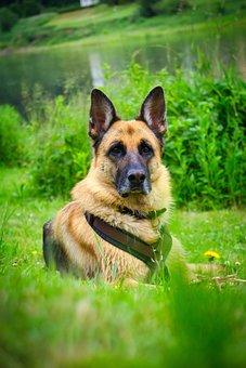 Schäfer Dog, Dog, Pet, Animal, Puppies, Courage
