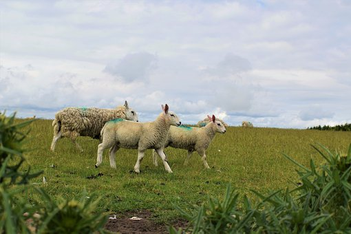 Sheep, Grass, Field, Farm, Agriculture