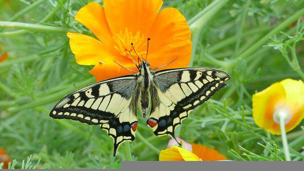 Swallowtail, Butterfly, Insect, Nature, Flower, Summer