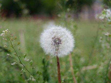 Dandelion, Seeds, Pointed, Flower, Plant, Nature