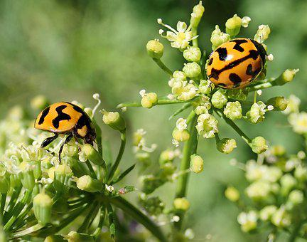 Insects, Beetles, Ladybirds, Flowers