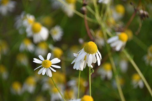 Flowers, Flower, Natural Plants, Daisies