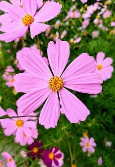 Plant, Pink, Flowers, Nature, Garden