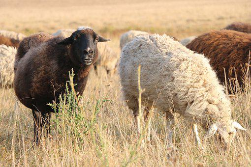 Sheep, Pasture, Herd, Summer, Grass, Landscape, Cattle