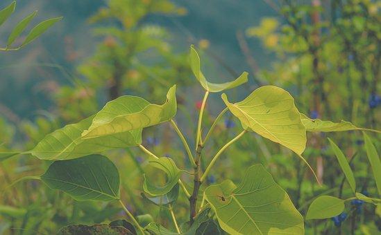 Bo, Bo Leaf, Leaves, Nature, Summer, Asia, Open