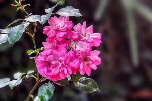 Rosa, Flower, Tea Rose, Bloom, Flowers In A Bunch