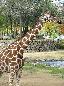 Giraffe, Zoo, Africa, Nature, Safari, Wildlife