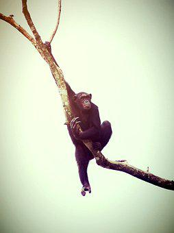 Animal, Monkey, Chimp, Relaxing, Ape, Trees, Africa
