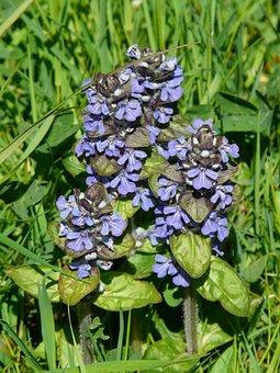 Ajuga Günsel, Pointed Flower, Ajuga Reptans L