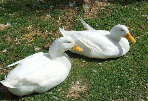Turkey, Ankara, Duck, Goose, White, Green, Swan