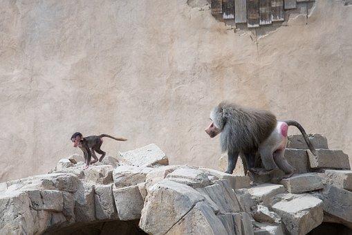 Baboon, Chasing, Run, Mammal, Ape, Young, Running, Cute