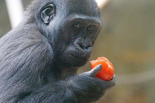 Gorilla, Primate, Ape, Lowland Gorilla, Watch, Thinking